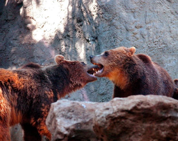 2 brown bears fighting